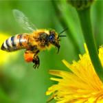 honeybee06